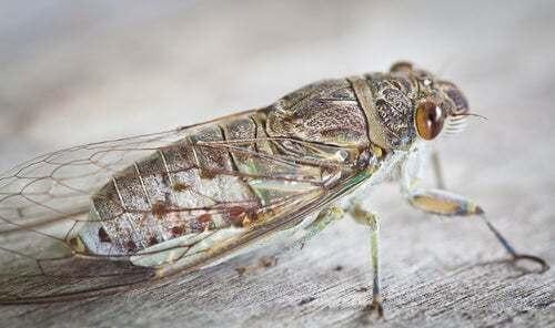 Cicala ferma su un pezzo di legno, insetto più rumoroso