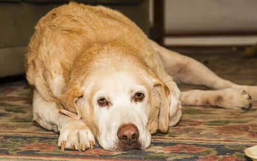 L'artrite nel labrador retriever: cause e cure