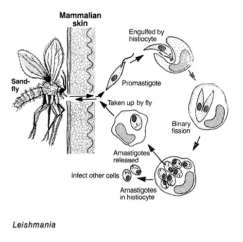 La Leishmania è uno dei parassiti monocellulari