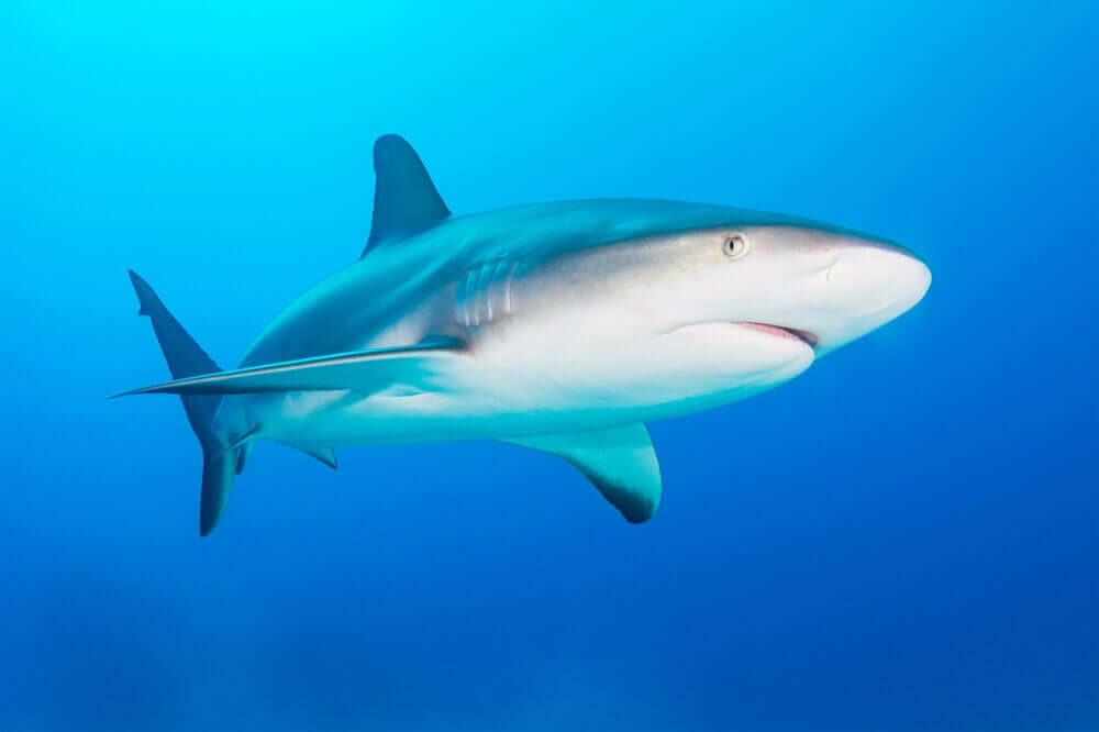 lo squalo grigio