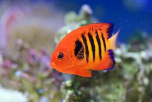 Il pesce angelo fiamma tra i pesci più belli dello oceano