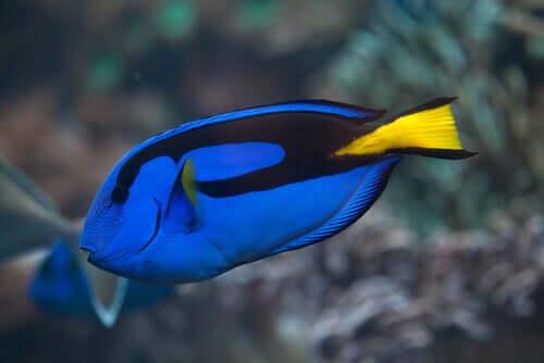 Pesce chirurgo in acqua