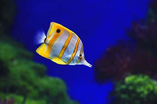 Pesce farfalla del rostro