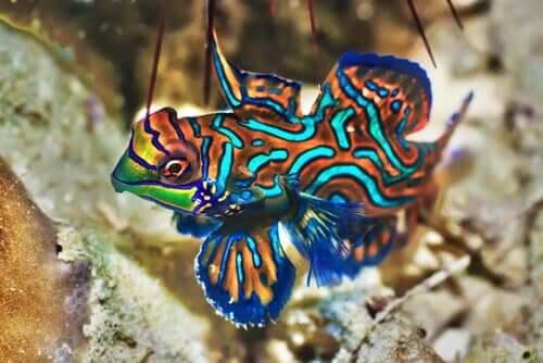Esemplare di pesce mandarino