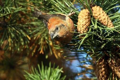 Albero di pino e uccello