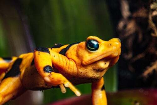 """La rana dorata del Panama: un anfibio bellissimo che rischia l""""estinzione"""