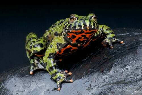 Bombinatoridae: caratteristiche, alimentazione e habitat