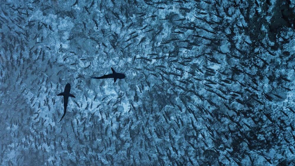 squali grigi