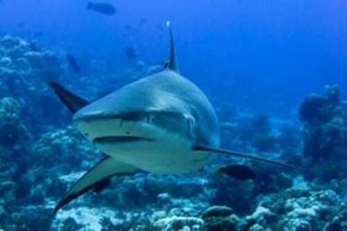Scopriamo l'affascinante mondo dello squalo grigio