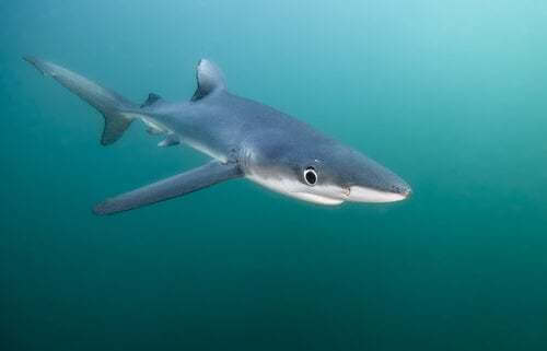 Caratteristiche e habitat dello squalo azzurro