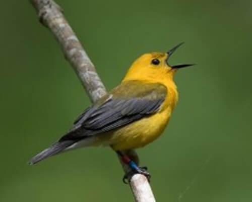 6 specie di uccelli canterini: le sapete riconoscere?