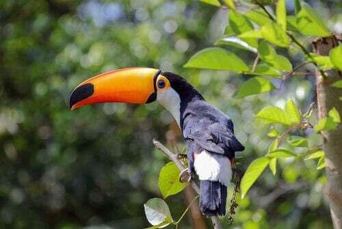 Tucano, tra gli uccelli tropicali da conoscere