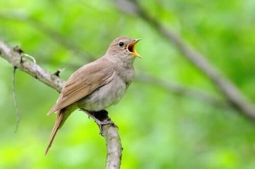 Canto uccello su un ramo