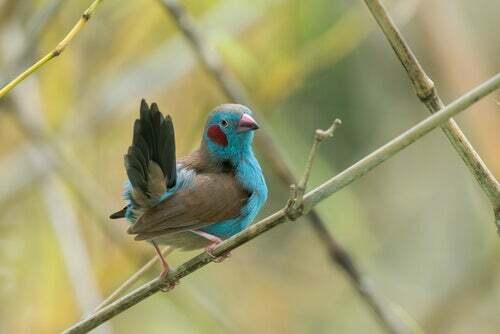 Uccello azzurro Senegal