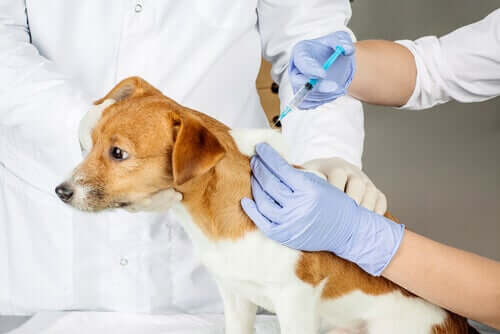 i vaccini servono a stimolare il sistema immunitario del cane a produrre i necessari anticorpi per difendersi