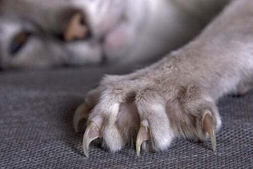 Artiglio di gatto