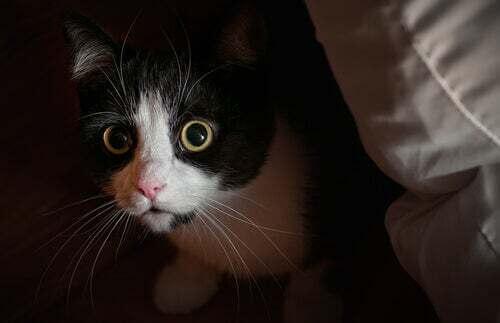 Ansia nei gatti: sintomi e trattamento