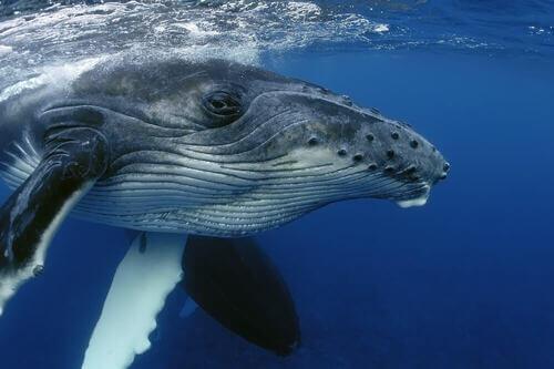 Come fanno le balene a dormire senza annegare?