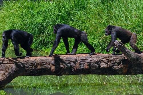 Scimpanzé su un albero