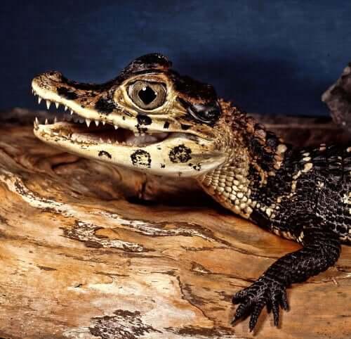 esistono virus che colpiscono esclusivamente i coccodrilli