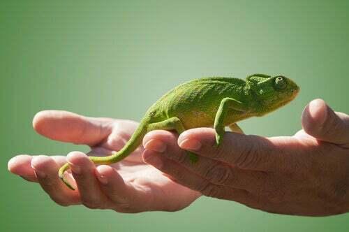Avere un camaleonte come animale domestico: cosa c'è da sapere