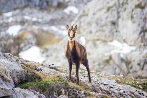 Animale selvatico alpino si arrampica in montagna.