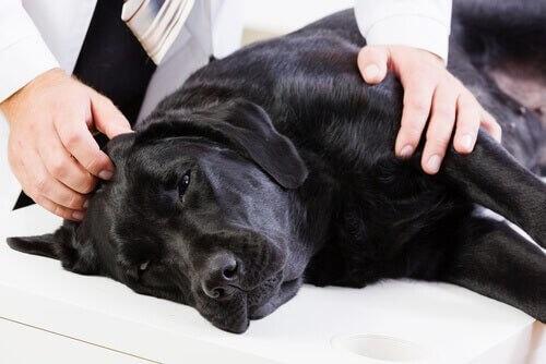 Cane labrador nero sta male