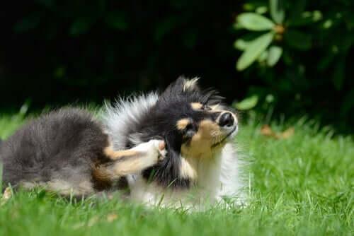 Perché il cane si gratta? 3 spiegazioni scientifiche