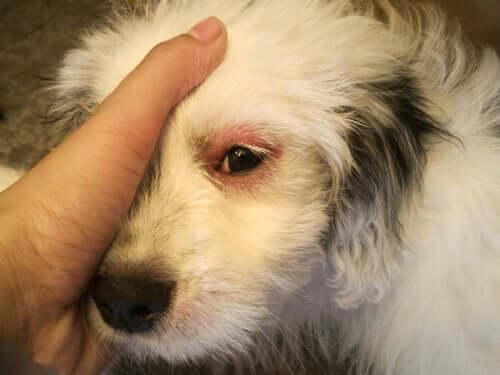 cane con infezione a un occhio
