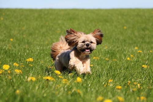 La razza lhasa apso: il cane tibetano dal pelo lunghissimo
