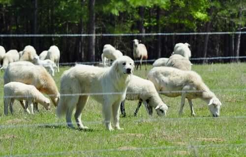 Cane da montagna dei pirenei che protegge il gregge