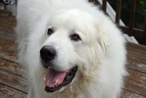 Cane da montagna dei Pirenei: il gigante bianco