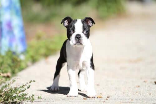 Strabismo nei cani: cause e trattamento