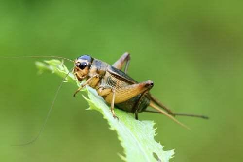 Canto del grillo: insetto su una foglia