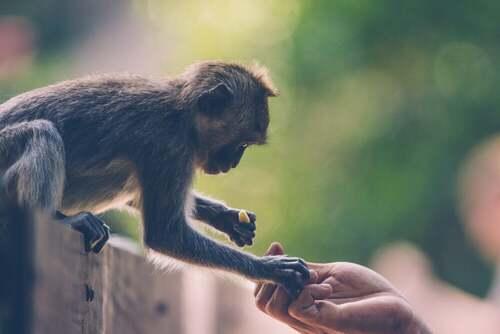 Dare da mangiare alle scimmie
