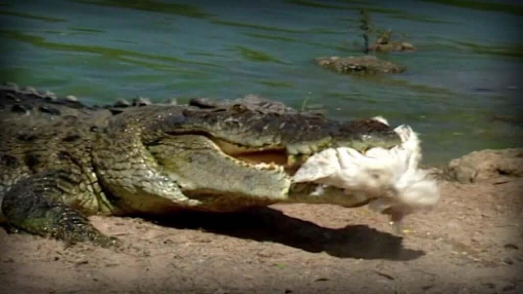 alcuni virus che colpiscono i coccodrilli vengono inizialmente trasmessi dagli uccelli