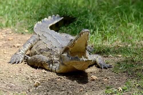 le condizioni ambientali sono spesso responsabili della presenza di alcuni virus che colpiscono i coccodrilli