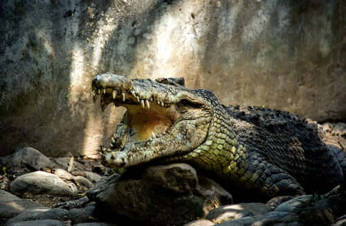 6 virus che colpiscono i coccodrilli