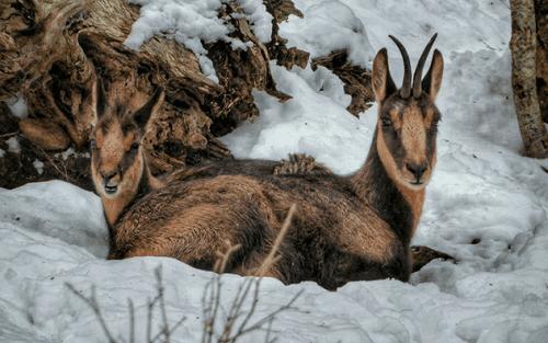 Il camoscio alpino: un bellissimo erbivoro di alta montangna