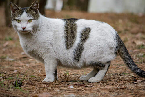 Gatto castrato