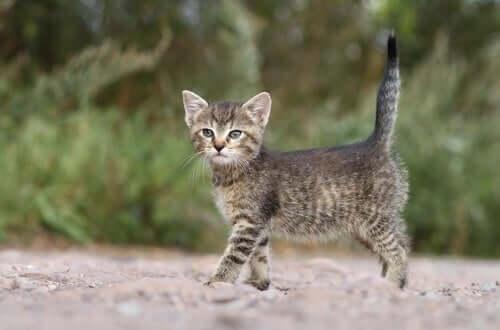 Gatto con la coda dritta in alto