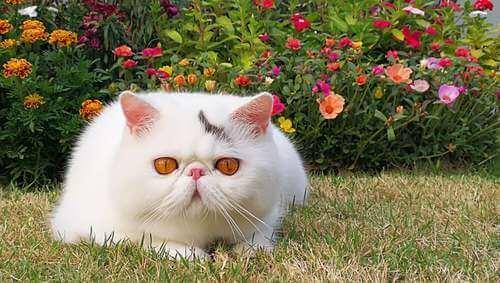 Gatto esotico bianco nell'erba