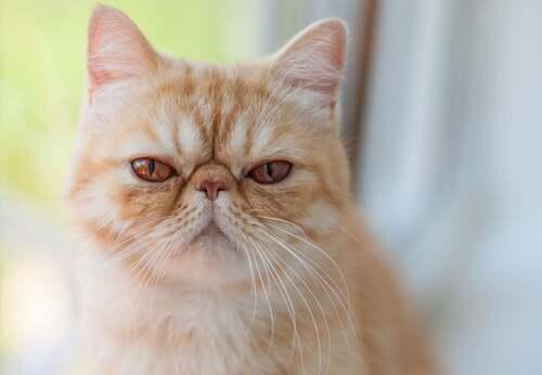 Gatto esotico: comportamento e caratteristiche