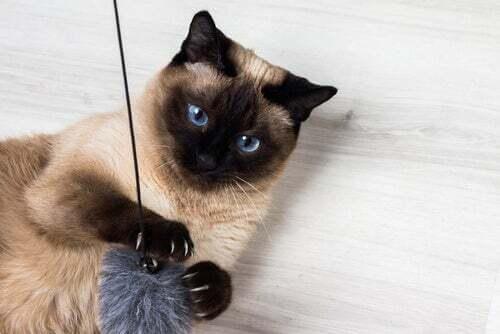 9 interessanti curiosità sul gatto siamese