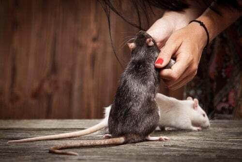 Come insegnare dei trucchi al vostro topo