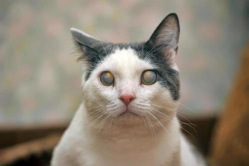 Gatto con glaucoma