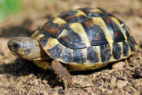Tartaruga mediterranea: dove vive