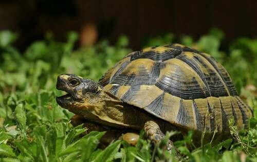 Habitat della tartaruga moresca