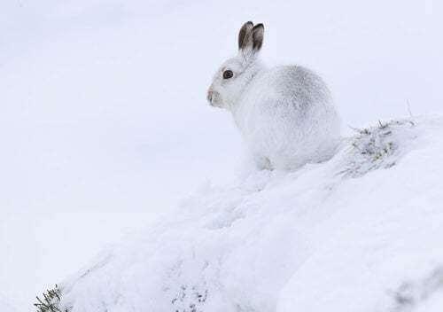 Lepre artica nella neve