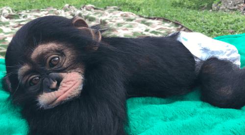 Uno scimpanzé sopravvissuto ritrova chi lo ha salvato: è tutto vero?